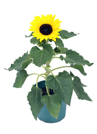 Sunflower in green pot separated on white background