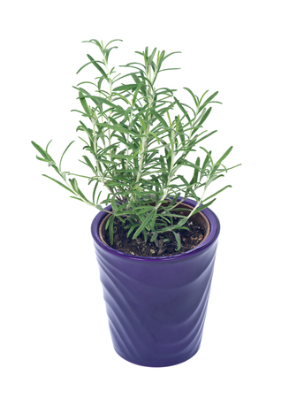 Rosemary in purple pot separated on white background
