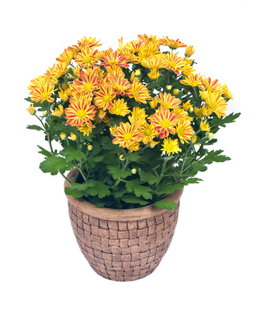 Fall mums flowers in clay pot separated on white background Фото со стока