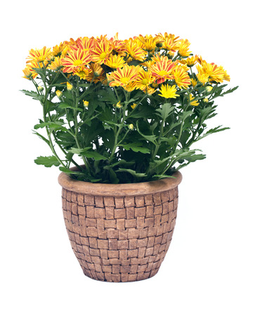 Tombent mamans fleurs dans un pot d'argile séparés sur fond blanc Banque d'images - 64012231