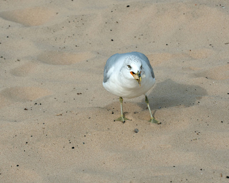 bred: Always hungry seagull eating bred on the beach Stock Photo