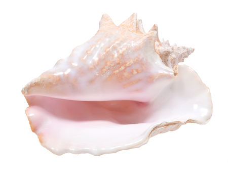 Large pink queen conch seashell isolated on white background Stock Photo