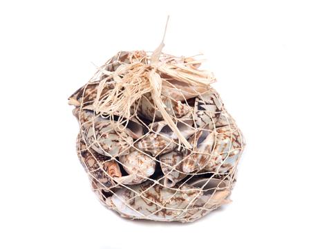 Decorative bag of bat volute sea shell, cymbiola vespertilio, volutidae family, isolated on white bacground