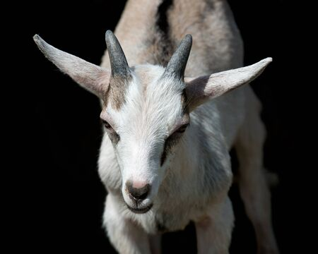 Young milk goat on countryside amish farm Stock Photo