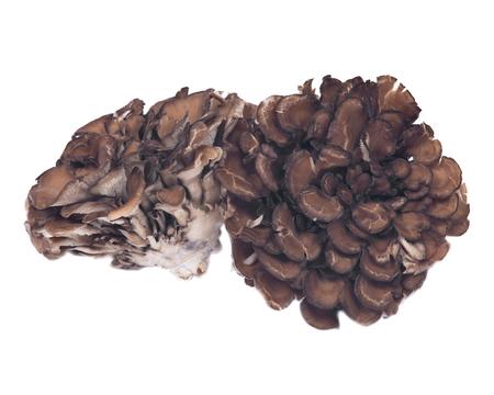 Organic maitake immune enhancing medicinal mushroom, hen of the wood isolated on white background Фото со стока