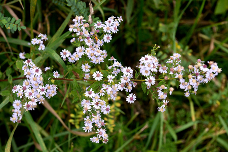 yarrow: Yarrow Achillea millefolium Aster family (Asteraceae) wild Illinois flower