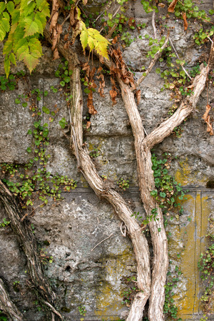 Climbing old plants growing on vintage stone wall Stock Photo