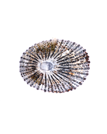 Cayenne Keyhole Limpet from Kauai beach in Hawaii, isolated on white background