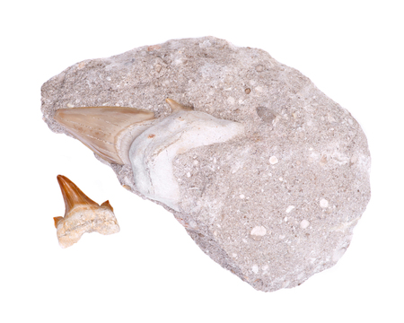 Fossil shark tooth embedded in a piece of Miocene limestone from Victoria in Australia and authentic fossilized prehistoric shark tooth from Morocco isolated on white background