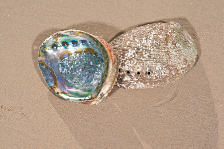 Bright polished Rainbow Abalone Shell on wet sand on the beach at sunrise. Stock Photo