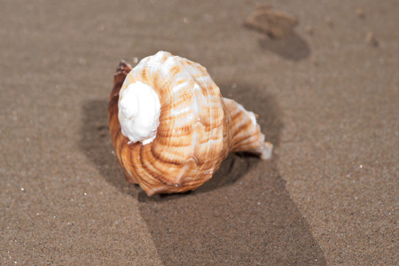 The mollusc (or mollusk) shell is typically a calcareous exoskeleton which encloses, supports and protects the soft parts of an animal in the phylum Mollusca, which includes snails, clams, tusk shells Banco de Imagens