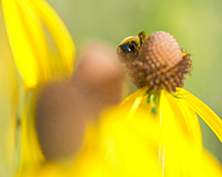 Bee pollinates blooming bright yellow flower of cut leaf coneflower, a species of flowering plant in the aster family.