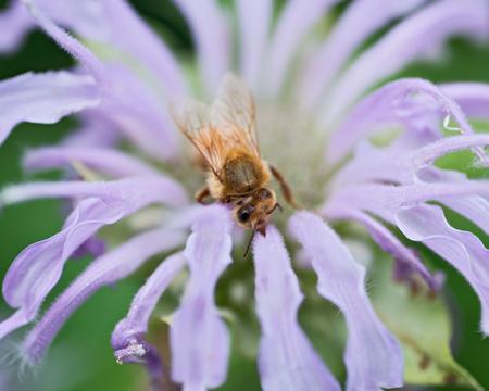 Honeybee (Apis Mallifera) gathering nectar and pollen on flowers.