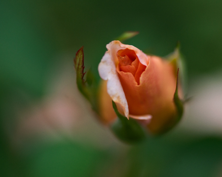 Macro shot of the Peace rose, formally Rosa 'Madame A. Meilland'. Bud of garden hybrid tea rose in botanic garden.