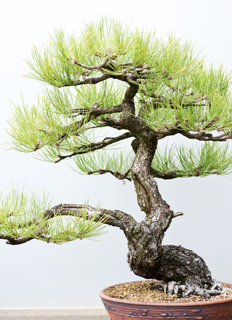Traditional bonsai tree, Japanese art form using trees grown in containers on rainy day in botanic garden.