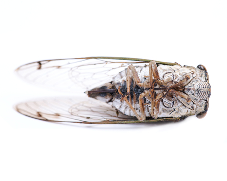 Insect Cicada (Cicadoidea) isolated on white background.