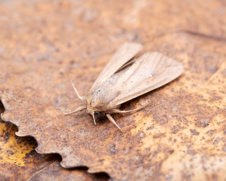 Grease moth (Aglossa cuprina), nocturnal moth, insect related to butterflies (Lepidoptera)on dry leaves.