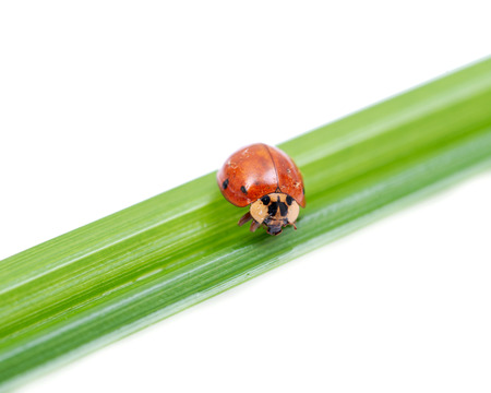Mariquita (Coccinellidae) en la hoja de hierba aislado sobre fondo blanco.