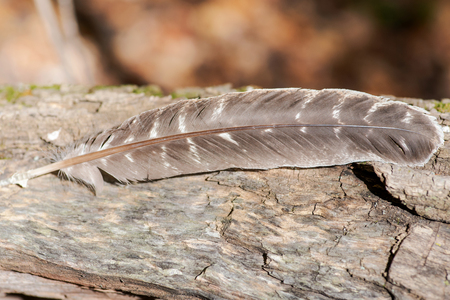 Grade A barred turkey smudging feather on a tree bark in the forest preserve. 免版税图像