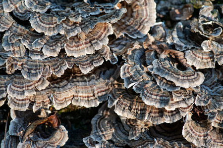 Fungi on dead tree Trametes versicolor, often called the turkey tail,  member of the forest fungal fowl community in forest preserve.
