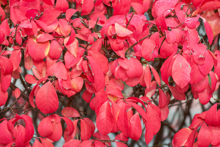 Macro shot of burning bush plant (Euonymus Alatus) with it's vibrant red leaves in the fall.