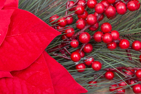 Blooming Holiday Red Poinsettia, Pine and Berry bush on wooden background.