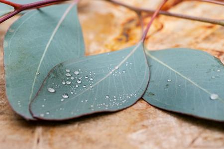 Fresh Eucalyptus leaves on Natural Polished Petrified wood slab.