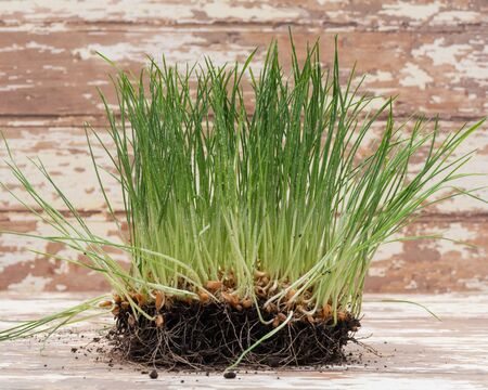 Sprouted Organic Fresh Green Wheat Grass in soil. Triticum aestivum. Healthy concept.