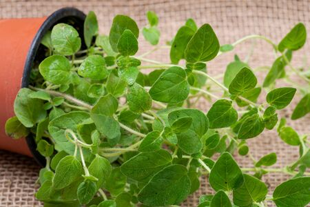 Potted Organic Oregano Plant with roots in fertilized soil  isolated on natural burlap background. Origanum vulgare. Mint Family (Lamiaceae).