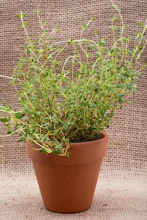 Potted Organic Thyme Plant with roots in fertilized soil  isolated on natural burlap background. Thymus vulgaris in the mint family Lamiaceae.