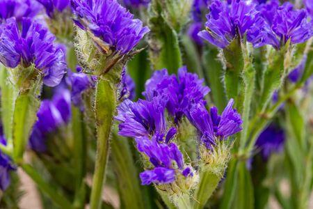 Dark Purple Limonium sinuatum (Wavyleaf Sea Lavender, Statice, Sea Lavender, Notch Leaf Marsh Rosemary, Sea Pink) Flowers. Plumbaginaceae Family.