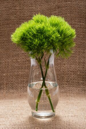 Green Ball - Dianthus Barbatus - Sweet William. Unique Ball-shaped, lime green flowers in clear glass vase isolated on natural burlap background. Standard-Bild