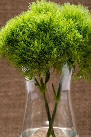 Green Ball - Dianthus Barbatus - Sweet William. Unique Ball-shaped, lime green flowers in clear glass vase isolated on natural burlap background.