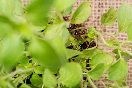 Organic Oregano Plant with roots in fertilized soil isolated on natural burlap background. Origanum vulgare. Mint Family (Lamiaceae). Zdjęcie Seryjne