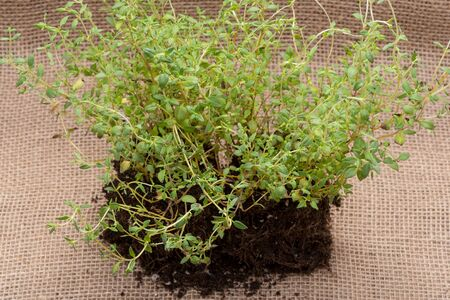 Organic Thyme Plant with roots in fertilized soil  isolated on natural burlap background. Thymus vulgaris in the mint family Lamiaceae. Zdjęcie Seryjne