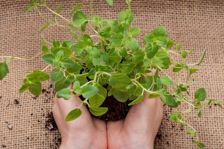 Womans Hands holding Organic Oregano Plant with roots in fertilized soil on natural burlap background. Origanum vulgare. Mint Family (Lamiaceae). Zdjęcie Seryjne