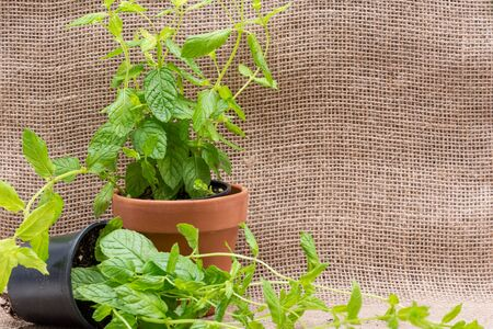 Potted Organic Peppermint Plant with roots in fertilized soil  isolated on natural burlap background. Species: Mentha x Piperita.