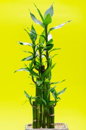 Fresh Green Lucky Bamboo stalks and leaves in ceramic vase on bright yellow background. Gramineae family. Scientific name: Bambusoideae.