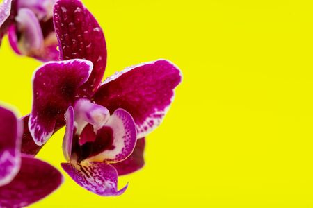 Blooming Mini Velvet Burgundy  Phalaenopsis Orchid Plant isolated on bright yellow background. Moth Orchids. Tribe: Vandeae. Order: Asparagales. Stock fotó