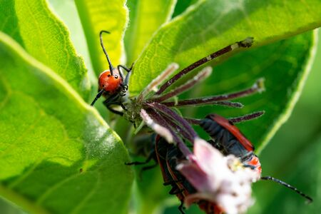 Red Milkweed Beetle (Tetraopes tetrophthalmus) in the family Cerambycidae on leaves of the Common Milkweed, Asclepias syriaca. Stock Photo