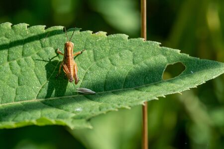 Young Brown Grasshopper in the wild sitting on a green leaf in the prairie field of the sanctuary park. Schistocerca americana. American grasshopper. Banque d'images - 128873351