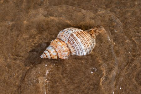 Striped Fox Horse Conch on wet sand on the beach at sunrise. Pleuroploca trapezium. Natural Seashell. Vacation concept. Banque d'images - 128422380