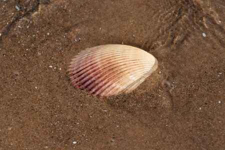 Scallop Shell  on wet sand on the beach at sunrise. Pectinidae. Natural Seashell. Vacation concept.