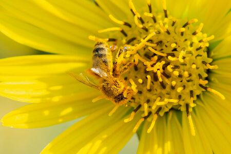 Honeybee pollinating on Yellow False Sunflower in prairie field. Asteraceae Family. Rhizomatous herbaceous perennial. Heliopsis Helianthoides.
