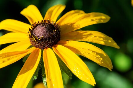 Yellow Coneflower flowering perennial plant from Asteraceae family. Echinacea paradoxa, a North American species in the sunflower family.
