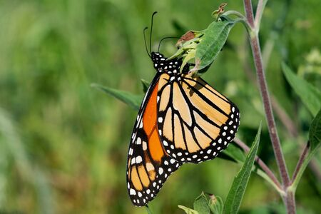 Monarch butterfly (Danaus plexippus) collecting nectar from flowers.