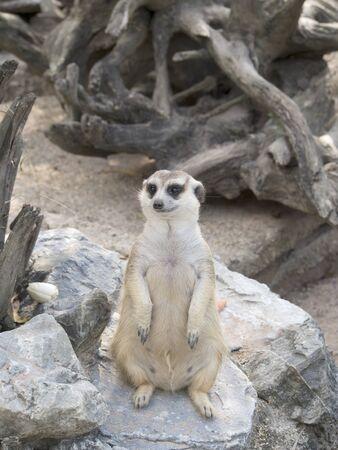 Meerkat in open zoo, Thailand Editorial