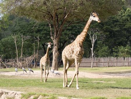 Giraffe walking in the open zoo , Thailand