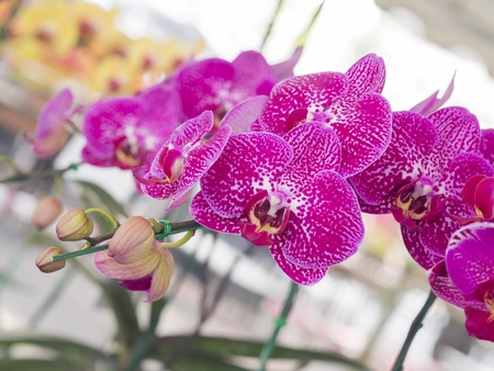 taida red rose orchid