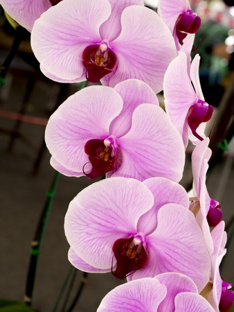 minho orchid, pink orchid